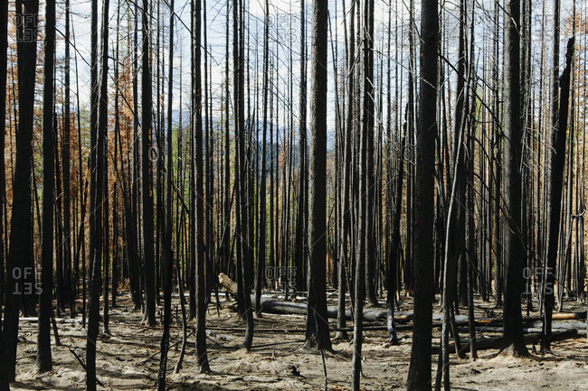Fire damaged trees and forest