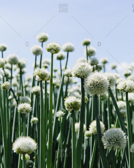 Large crop of blooming Walla Walla Sweet Onions