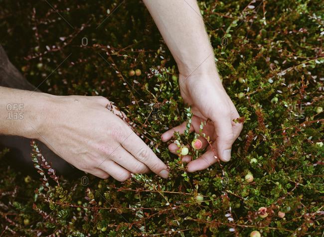Hands collecting cranberries