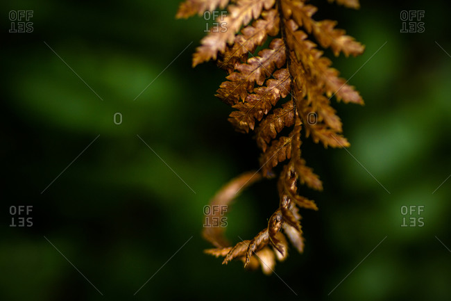Bronze toned old fern frond
