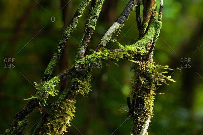 Mosses and lichen growing on Supplejack stems. Supplejack is a twining climber the stems of which hang in flexible loops between trees.