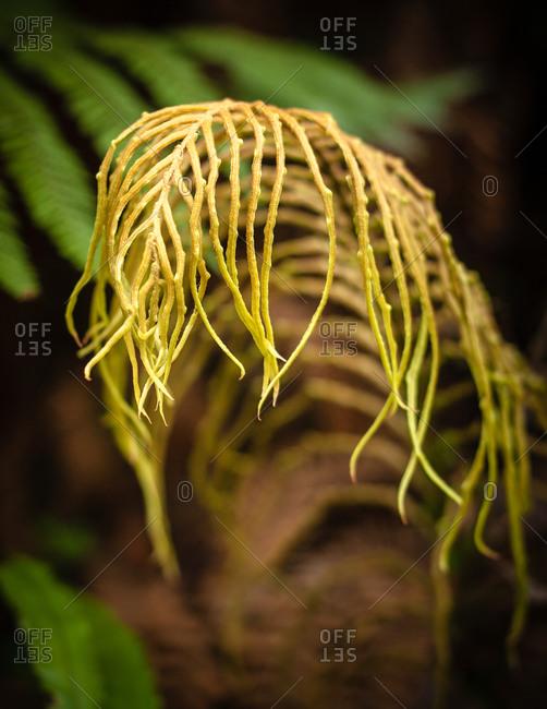 Palm-leaf fern