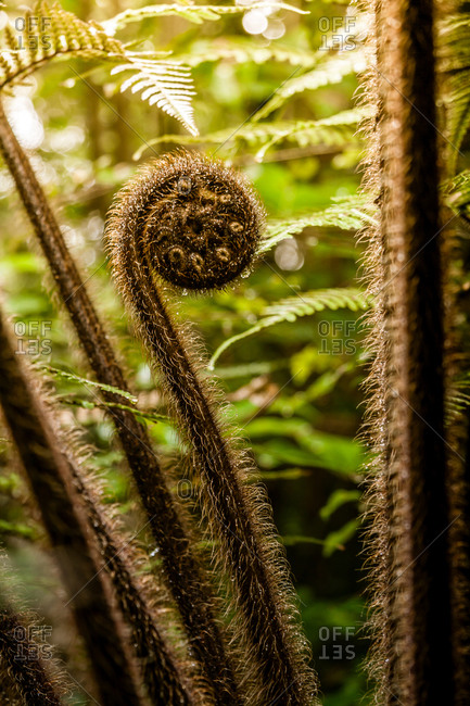 Punga, or tree fern. The unfurling frond is called a 'koru' in Maori which means 'new or beginning'. The koru symbol is used extensively in Maori carving, tattoo and culture in general.
