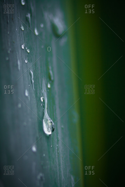 Close up of raindrops on New Zealand flax