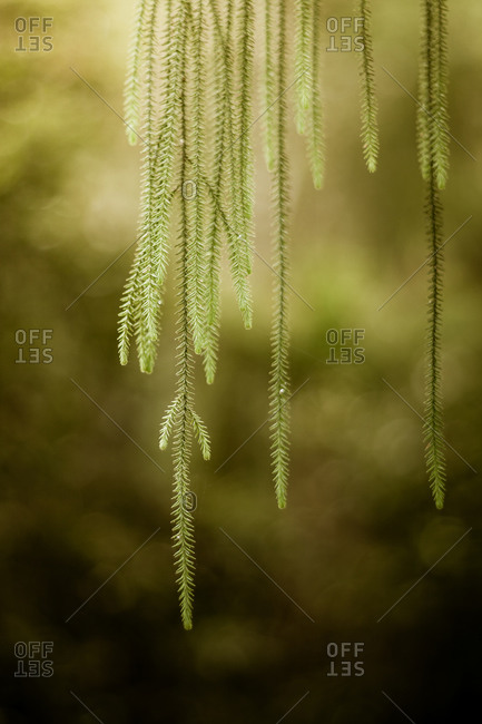 Weeping branchlets of a young Rimu tree