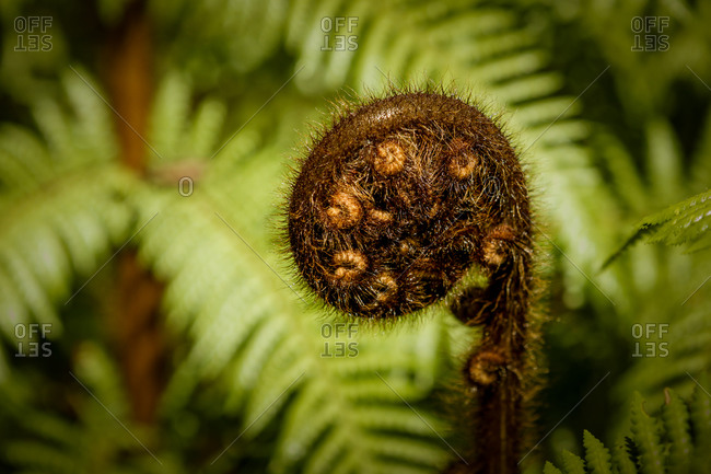 Close up of a koru