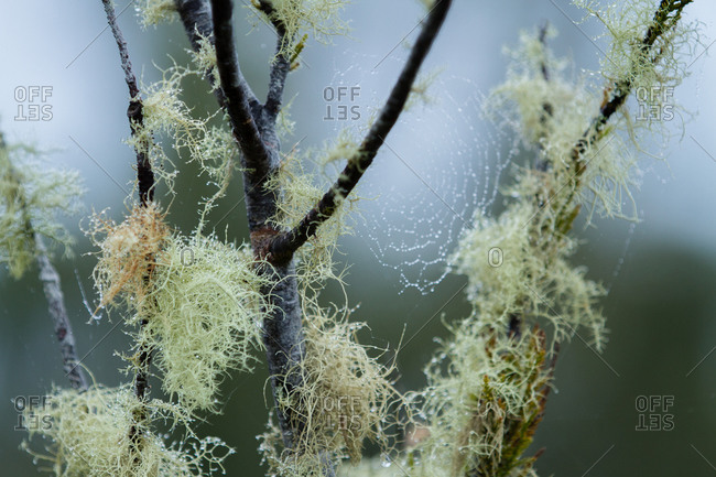 Lichen growing on bare branches in wetland area of rainforest