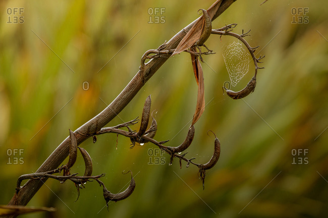 The seed pods of the New Zealand flax