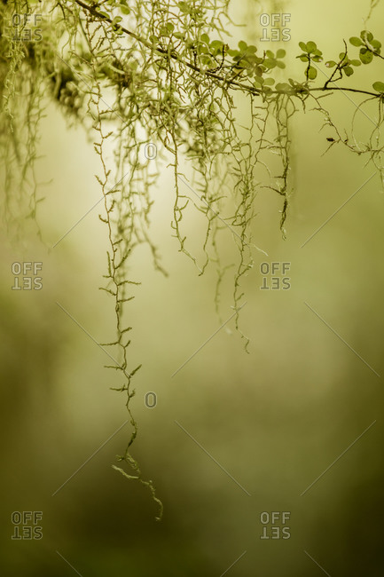 Spanish Moss draping from a tree