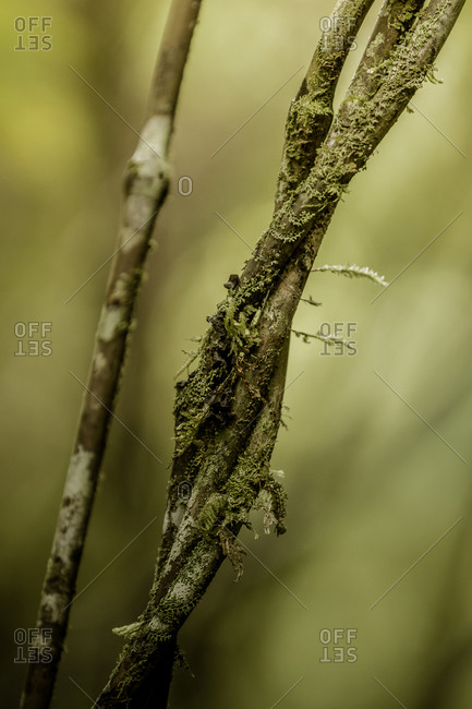 Mosses and lichen growing on Supplejack stems