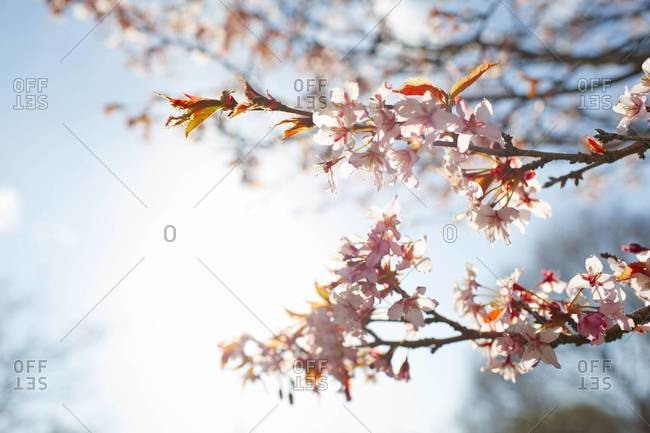 Cherry Blossom Trees in Spring