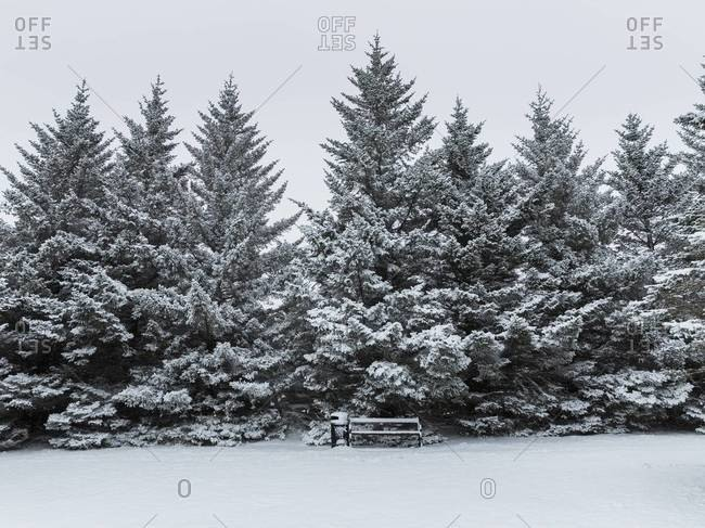 Snow covered evergreen trees and a park bench