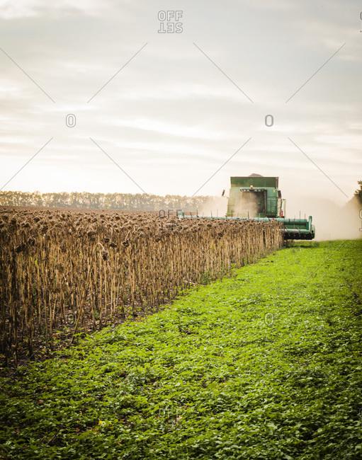 Fall wheat harvest