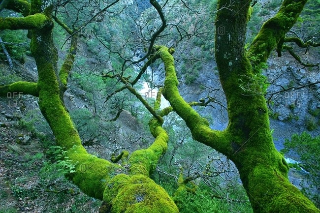 Moss covered trees in the Canyon River Anisclo