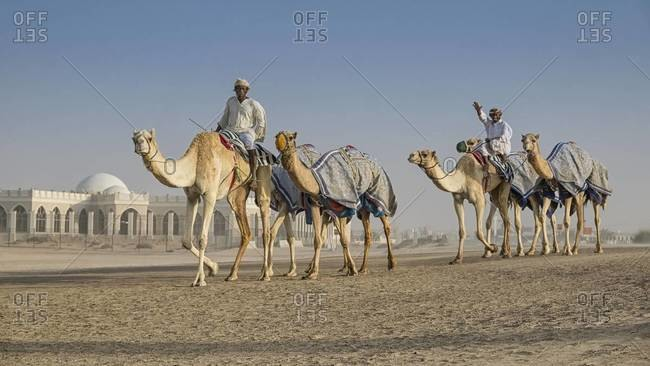 Dubai, United Arab Emirate - March 1, 2013: Walking the camels in the desert