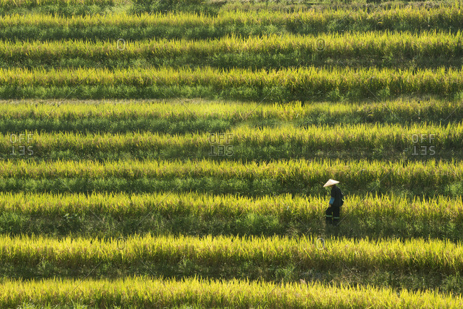 China terraced rice crops Guilin