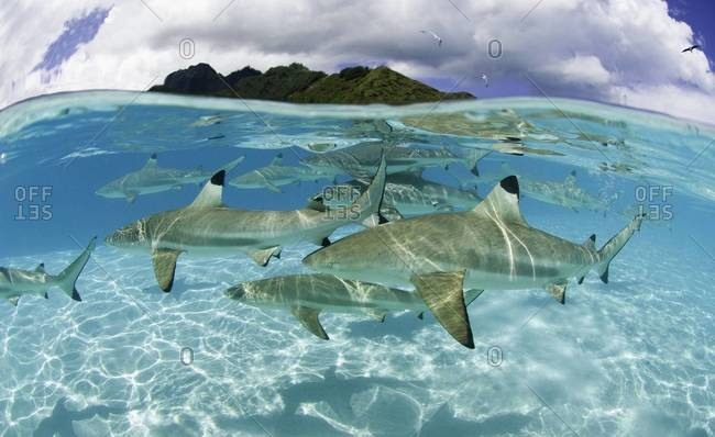 Shiver of blacktip sharks