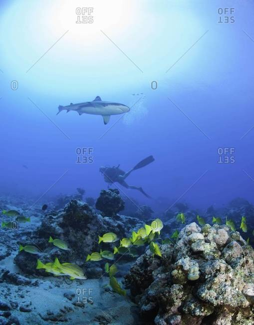 Diver under shark by coral reef