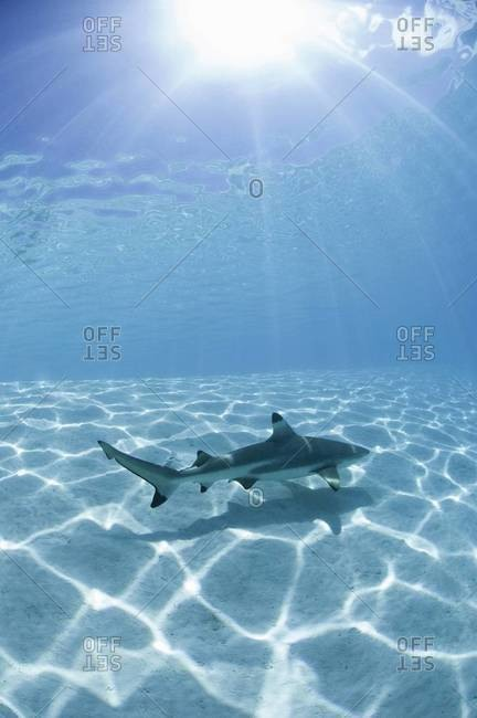 Lone blacktip shark - from the Offset Collection