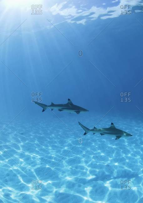 Two blacktip sharks - from the Offset Collection