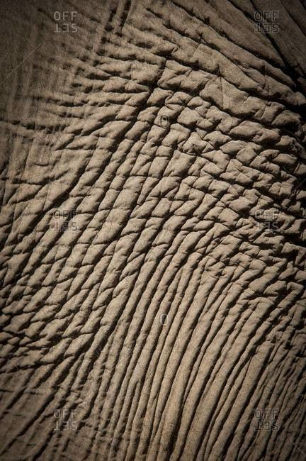 A close-up photo of wrinkled elephant skin