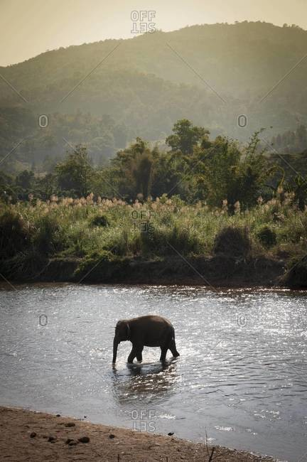 An elephant walks in a river near Chiang Mai