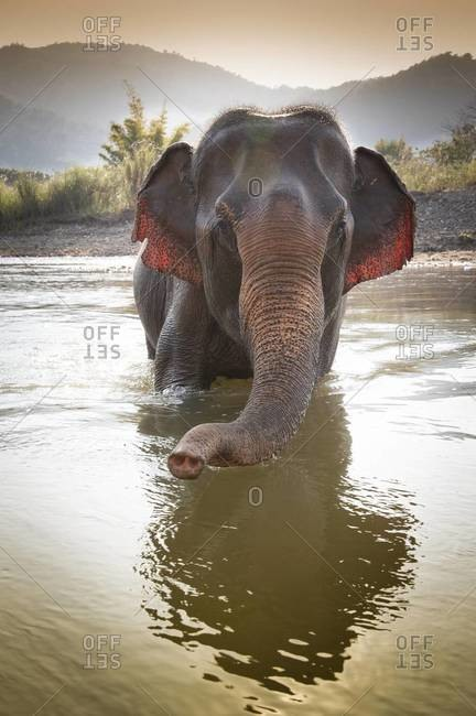 An elephant takes a bath in a river near Chiang Mai