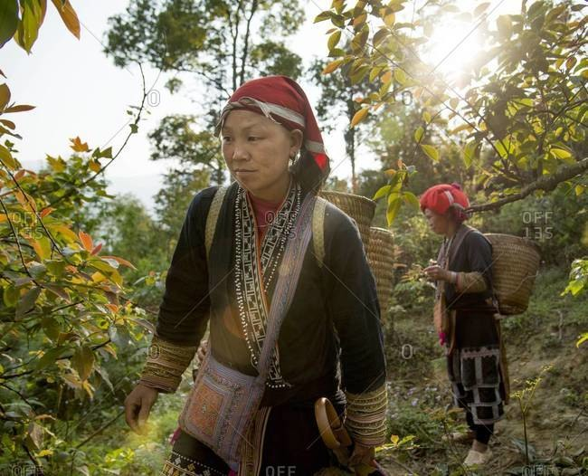 TA PHIN, VIETNAM - APRIL 3, 2013: Red Dao women walking though a beam of sunlight in the forest