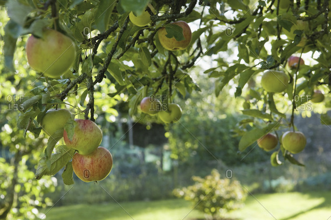 Fruit hanging from a bough on an apple tree