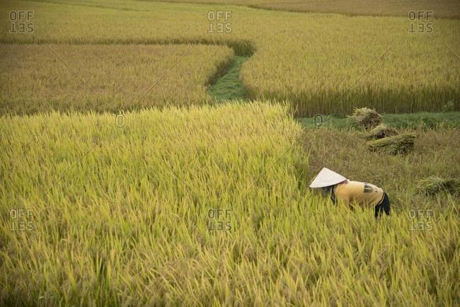 Woman carrying rice in field