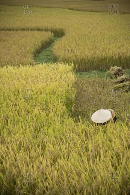 Woman working at a rice field in Vietnam