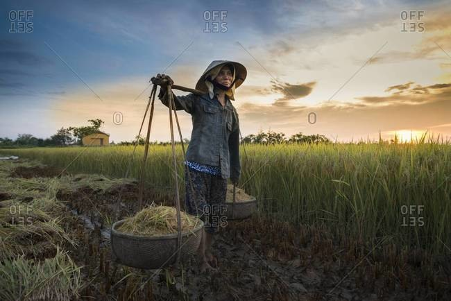 Hoi An, Vietnam - April 21,2013: Woman carrying rice at a field in Vietnam