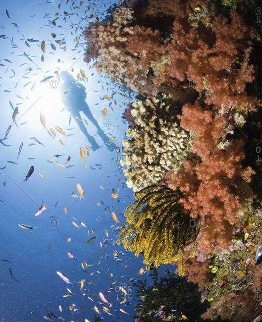 Silhouette of scuba diver exploring coral reef, Fiji