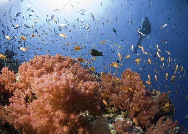 Scuba diver exploring coral reef, Fiji