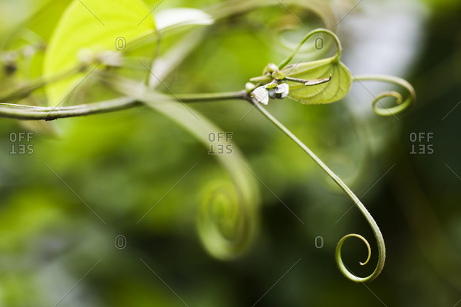Close up of a curling vine of a plant
