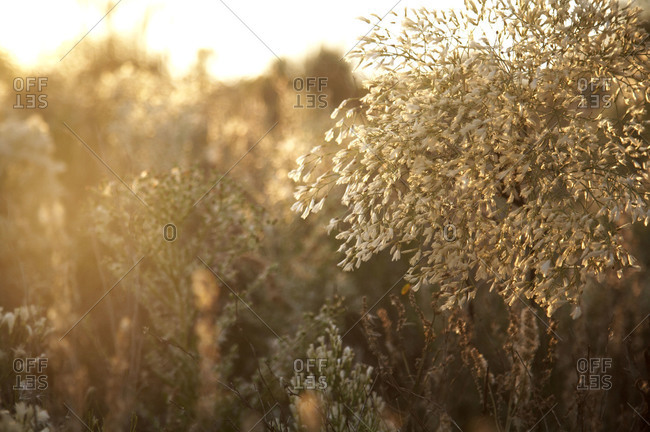 Close up of plants at a meadow at sunset