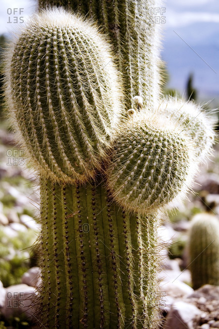 Close up of giant cactus in Northern Argentina