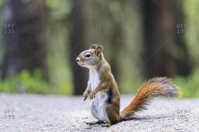 Canada, Alberta, Rocky Mountains, Jasper National Park, Banff Nationalpark, ff Nationalpark,  Icefields Parkway, American red squirrel (Tamiasciurus hudsonicus) standing on a road