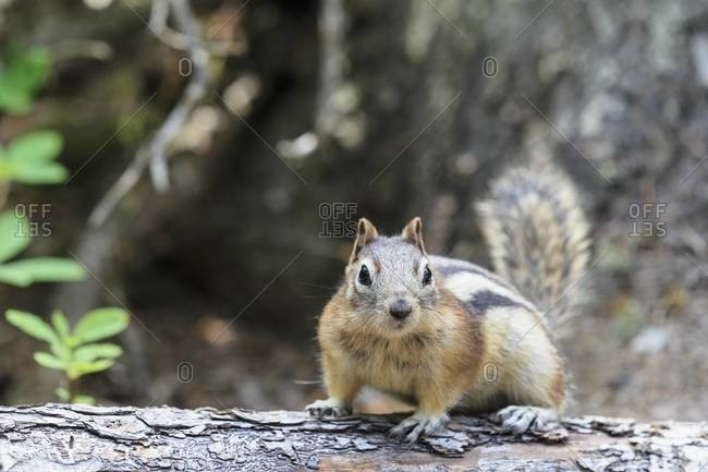 Canada, Alberta, Rocky Mountains, Jasper National Park, Banff Nationalpark, Canada, Alberta, Rocky Mountains, Jasper National Park, Banff Nationalpark, golden-mantled ground squirrel (Callospermophilus lateralis) on a tree trunk