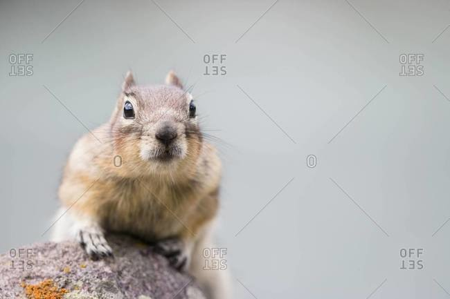 Canada, Alberta, Rocky Mountains, Jasper National Park, Banff Nationalpark, Canada, Alberta, Rocky Mountains, Jasper National Park, Banff Nationalpark, golden-mantled ground squirrel (Callospermophilus lateralis) crouching on a rock