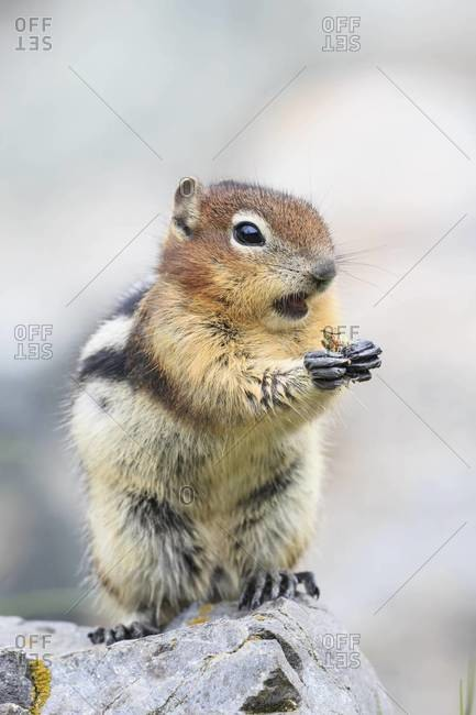 Canada, Alberta, Rocky Mountains, Jasper National Park, Banff Nationalpark, Canada, Alberta, Rocky Mountains, Jasper National Park, Banff Nationalpark, golden-mantled ground squirrel (Callospermophilus lateralis) eating on a rock