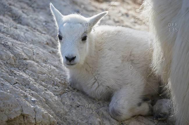 Canada, Alberta, Rocky Mountains, Jasper National Park, Banff Nationalpark, young mountain goat (Oreamnos americanus) lying on a rock