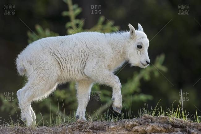 Canada, Alberta, Rocky Mountains, Jasper National Park, Banff Nationalpark, young mountain goat (Oreamnos americanus) on the move