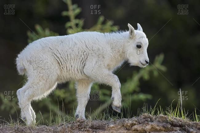 Canada, Alberta, Rocky Mountains, Jasper National Park, Banff Nationalpark, young mountain goat (Oreamnos americanus) on the move
