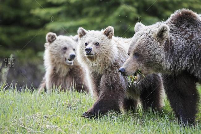 Canada, Alberta, Jasper and Banff National Park, Grizzly bears, mother with young animals
