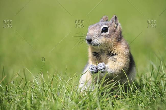 Canada, Alberta, Rocky Mountains, Jasper National Park, Banff Nationalpark, Canada, Alberta, Rocky Mountains, Jasper National Park, Banff Nationalpark, golden-mantled ground squirrel (Callospermophilus lateralis) sitting on a meadow