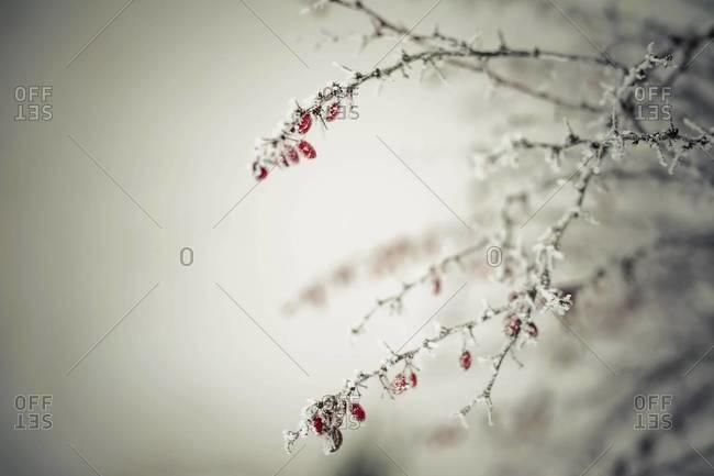 Germany, Mecklenburg-Western Pomerania, Ruegen, Common barberry in winter