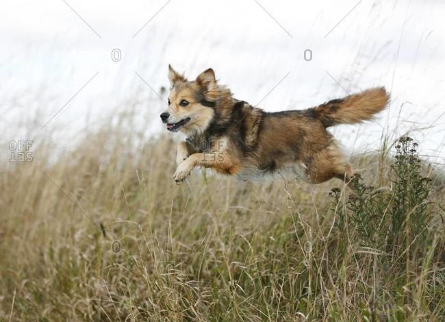 Mongrel jumping over a ditch