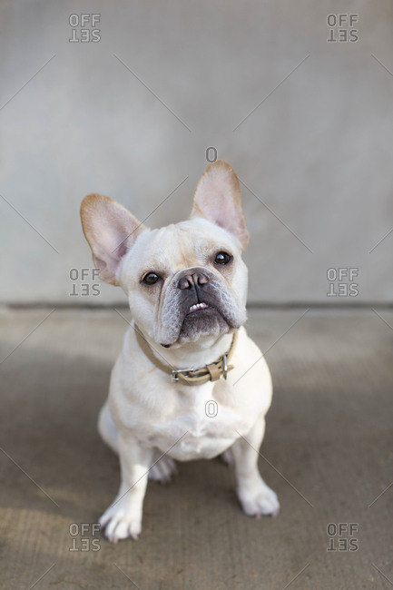 Front view of a french bulldog