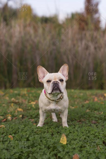 French bulldog standing in grass